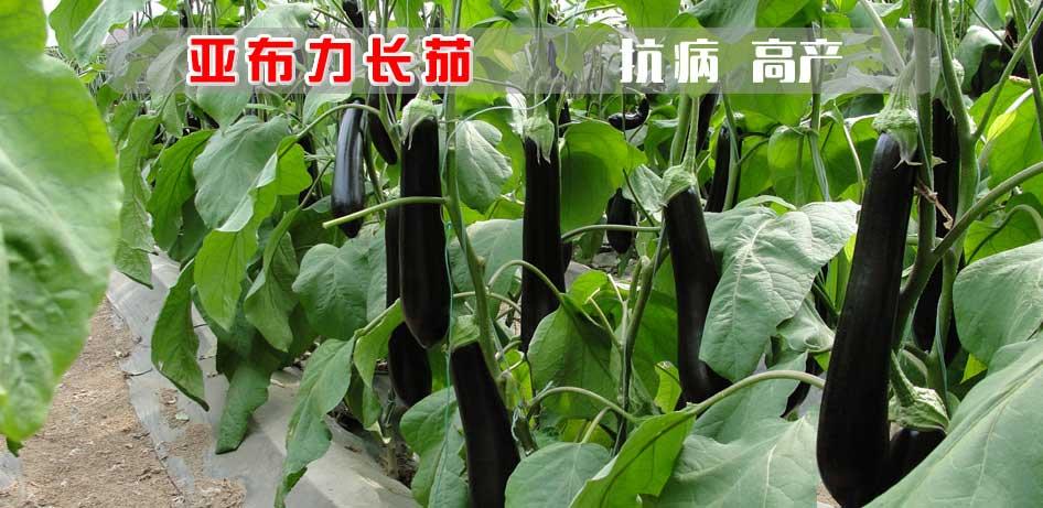 进口茄子种子-绿萼长茄种子-亚布力
