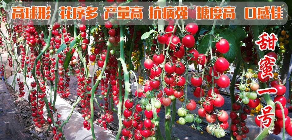 粉圆樱桃番茄种子-甜蜜一号-口感番茄种子