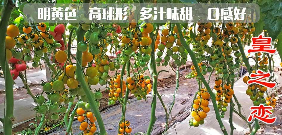 皇之恋-樱桃番茄种子-黄色圆球-糖度高口感好