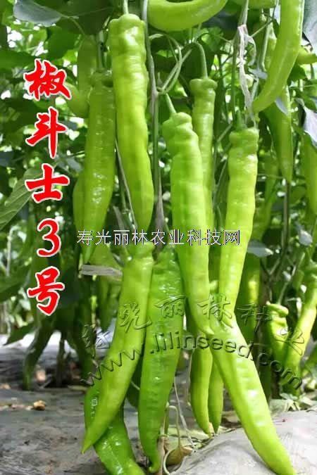 黄皮大羊角辣椒种子-椒斗士3号