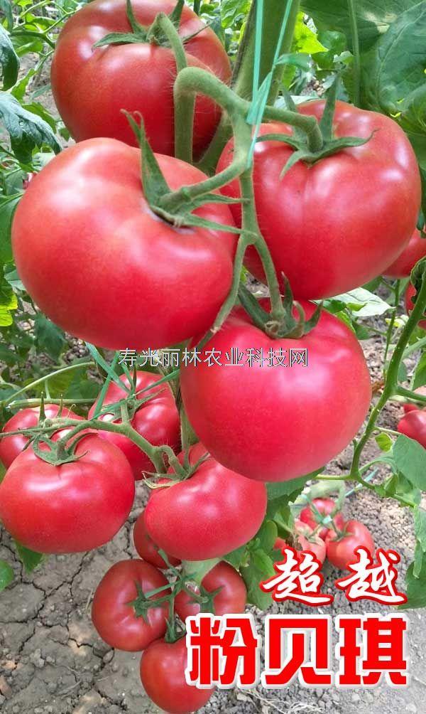 耐热抗病毒番茄种子