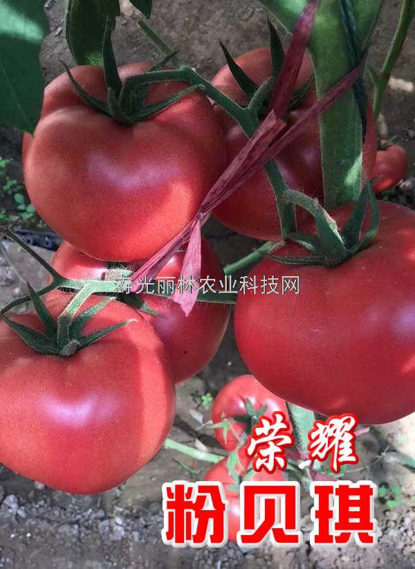 耐热粉果番茄种子