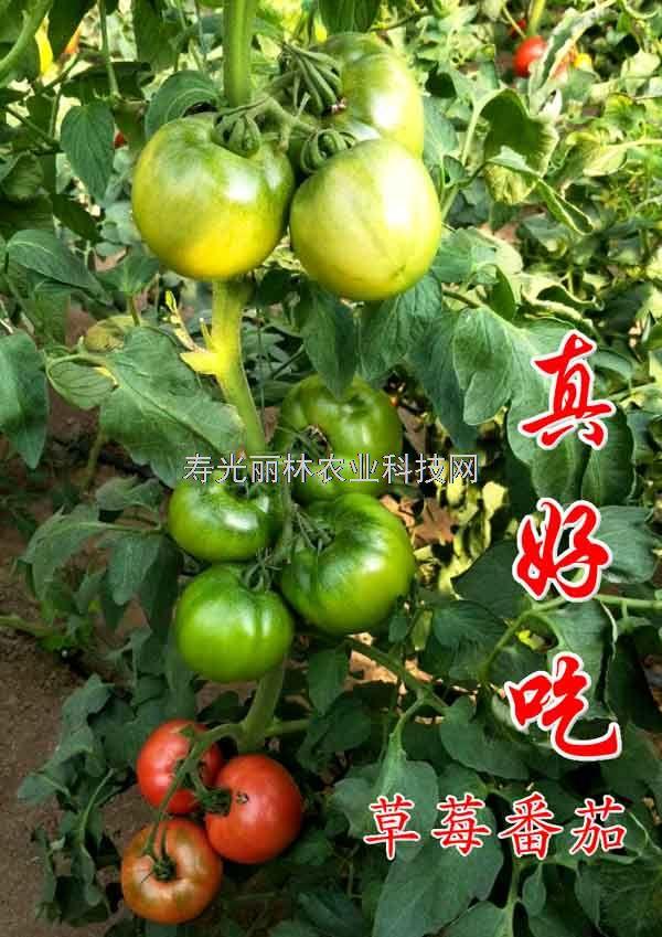 最好的草莓番茄种子-真好吃-口感番茄种子