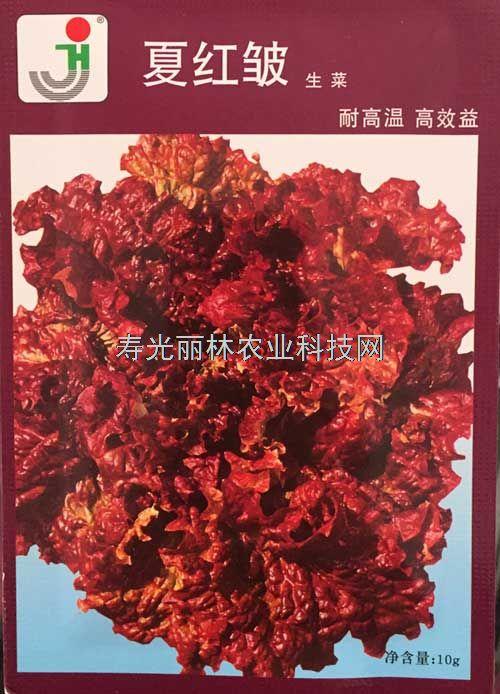 耐热紫生菜种子-夏红皱紫生菜种子