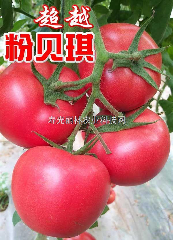 耐热石头粉果番茄种子-抗褪绿病毒,抗线虫,抗根腐病死棵,粉贝琪超越