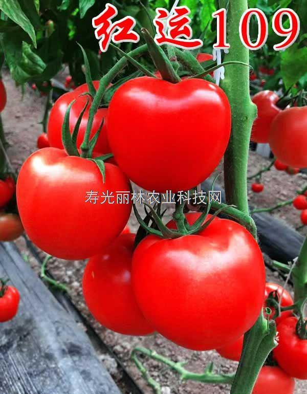 高抗黄萎病大红番茄种子