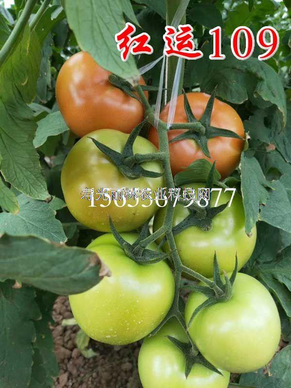 高抗黄萎病大红果番茄种子