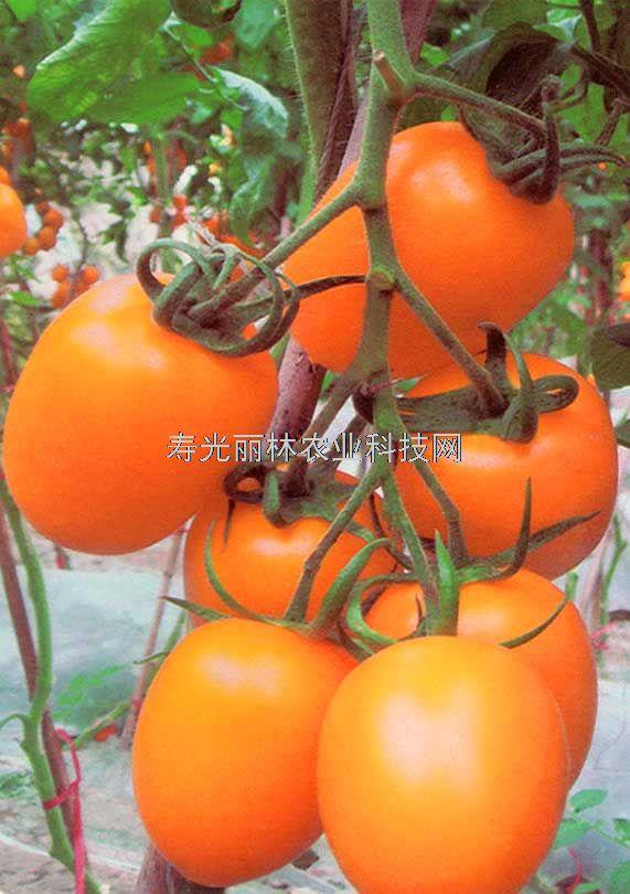 黄罗曼番茄种子-串黄番茄种子