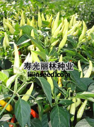 小米椒种子价格-丽比特