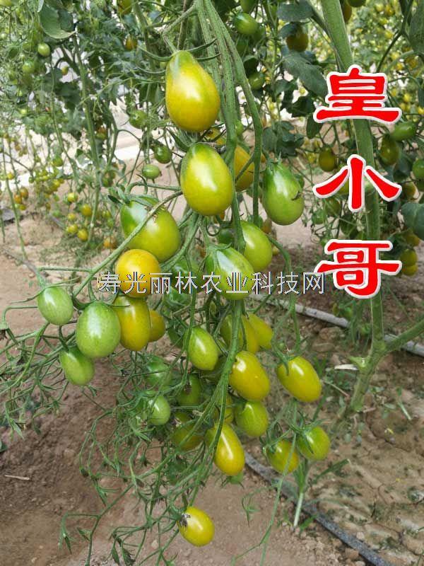 口感小番茄种子-皇小哥-好吃的小番茄种子