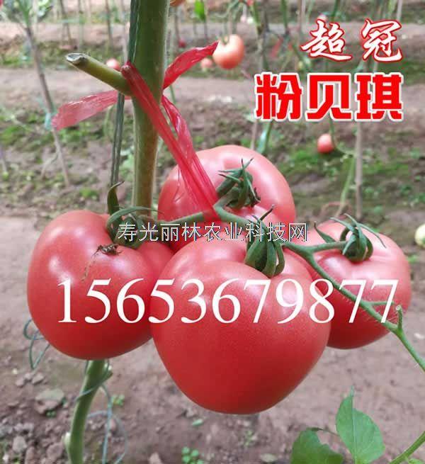耐裂硬粉果番茄种子