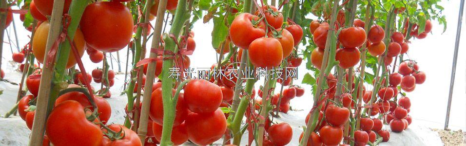 番茄水肥管理方案