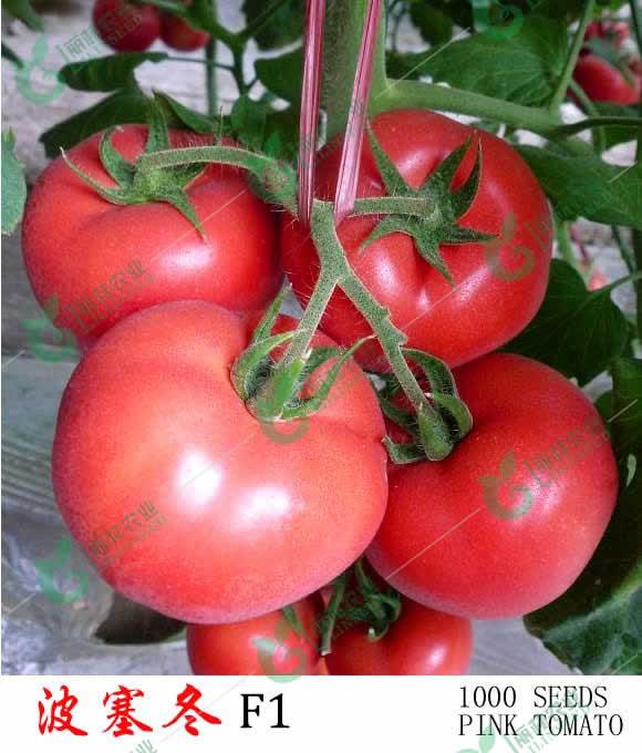 耐寒特大粉果番茄种子-波塞冬