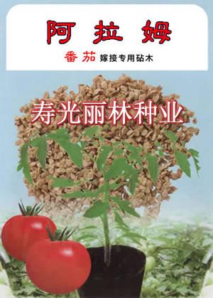 西红柿嫁接砧木-阿拉姆-完
