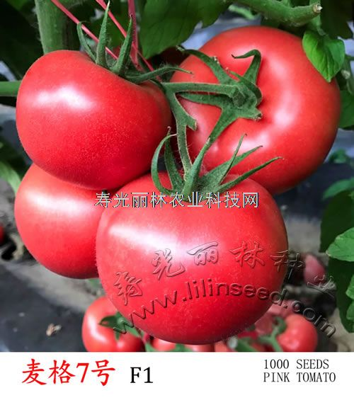 抗病毒粉果番茄种子-抗线虫番茄种子-麦格7号