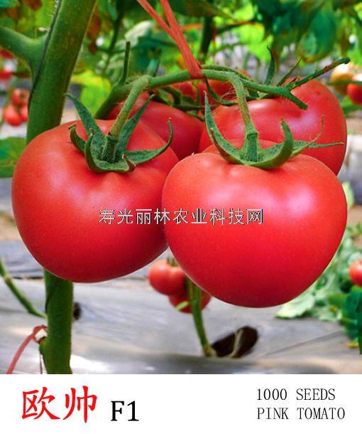荷兰粉果番茄种子-抗病毒耐热番茄种子-欧帅