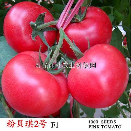 荷兰粉果番茄种子-抗线虫-粉贝琪2号