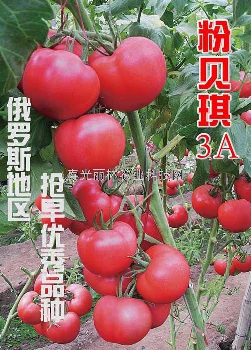 极早熟粉果番茄种子-俄罗斯地区专用西红柿种子-粉贝琪3A