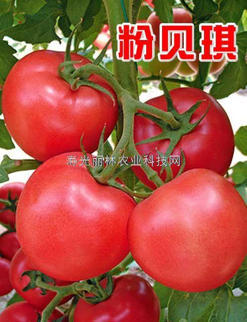 荷兰大果型粉果番茄种子-粉贝琪