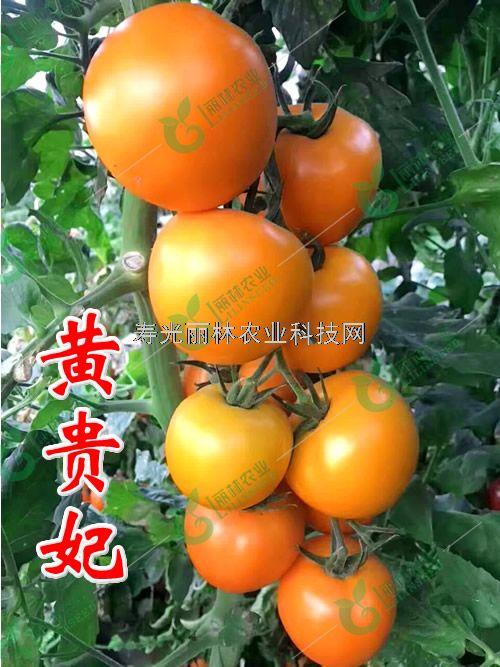 黄贵妃番茄种子-黄色大果番茄种子