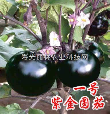 高产圆茄种子-紫金圆茄-寿光圆茄种子