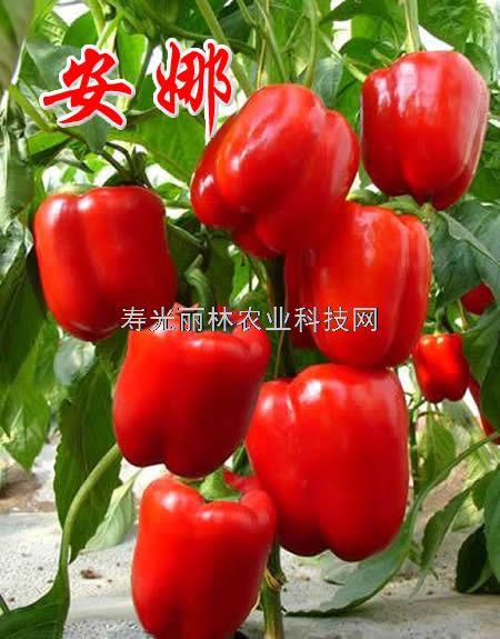 红彩椒种子-安娜-进口彩椒种子