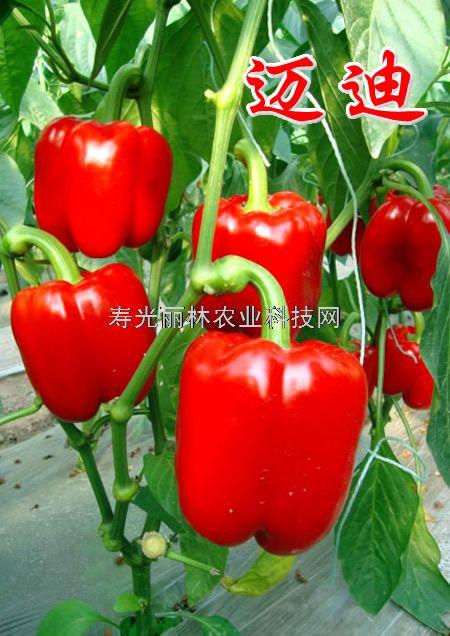 耐热彩椒种子-进口红彩椒种子-寿光彩椒种子-迈迪