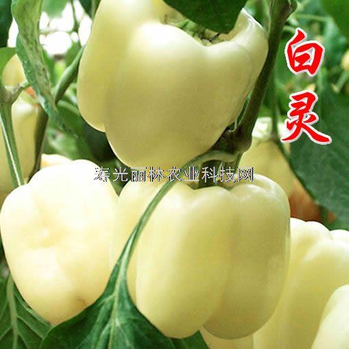 进口白彩椒种子-白灵-白色甜椒种子