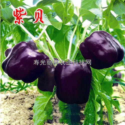 进口紫彩椒种子-寿光紫彩椒种子-紫贝