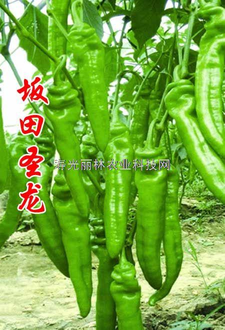 高产辣椒种子-黄皮羊角辣椒种子-坂田圣龙