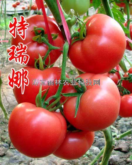 抗ty硬果番茄种子-石头粉果番茄种子-特瑞娜