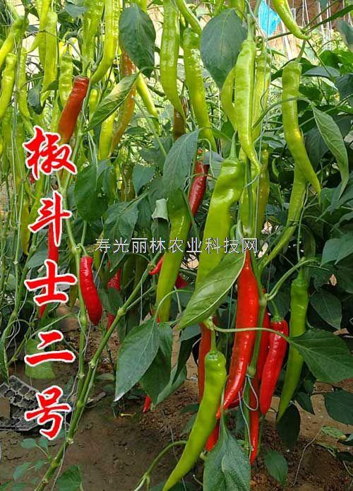 进口辣椒种子-不用整枝的辣椒种子-椒斗士2号