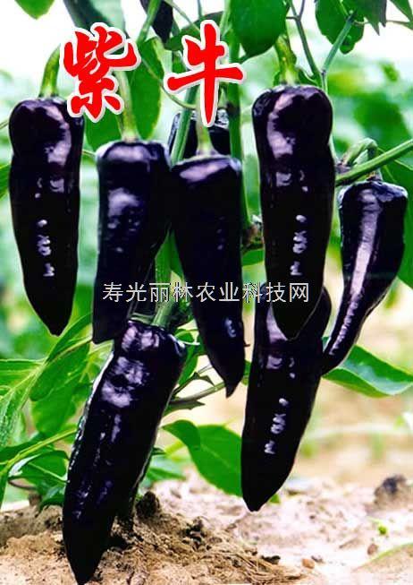 紫牛-紫辣椒种子-紫尖椒种子