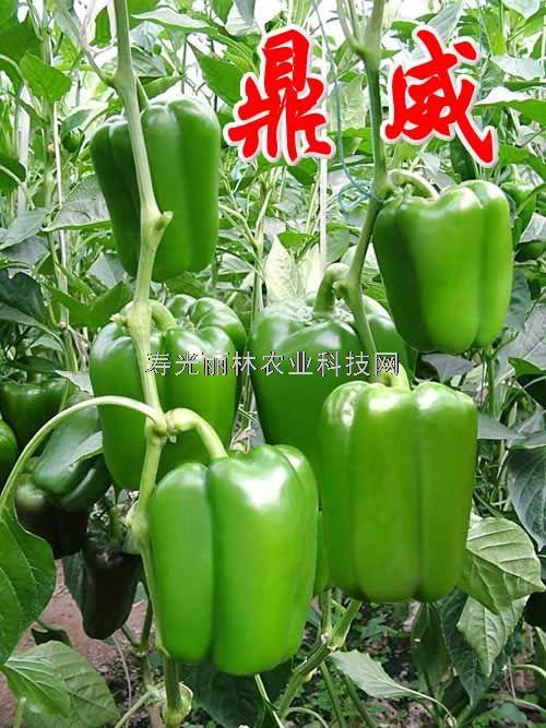 进口长方椒种子-进口太空椒种子-鼎威