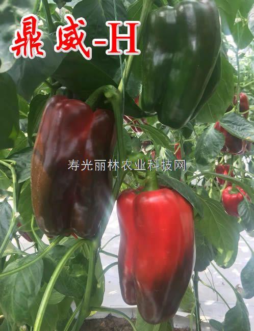 进口长方椒种子-太空椒种子鼎威H