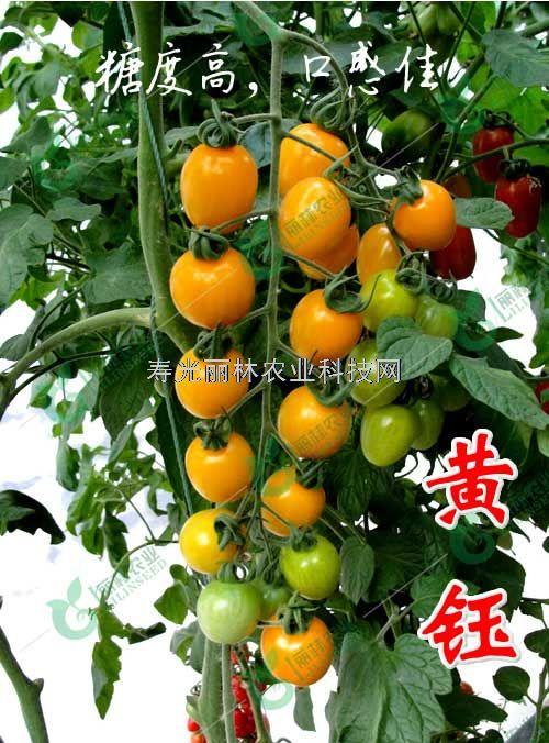 黄樱桃番茄种子-口感樱桃番茄种子-黄钰