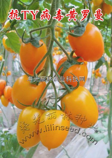 抗TY病毒黄罗曼番茄种子-黄曼迪