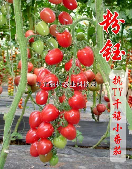 抗ty病毒千禧小番茄种子-粉钰