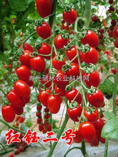 抗TY病毒红圣女果番茄种子-红钰2号