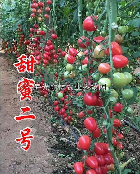 抗ty病毒樱桃番茄种子-甜蜜二号-口感小番茄种子