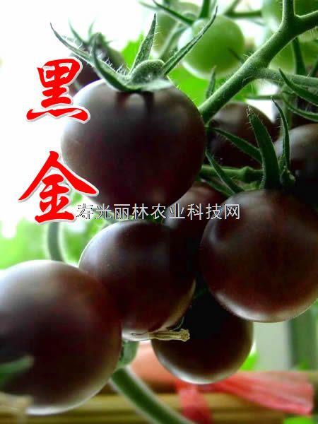 黑番茄种子-黑金