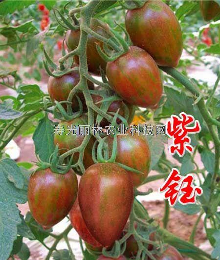 口感番茄种子-紫钰-紫色樱桃番茄种子