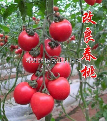 春桃番茄种子