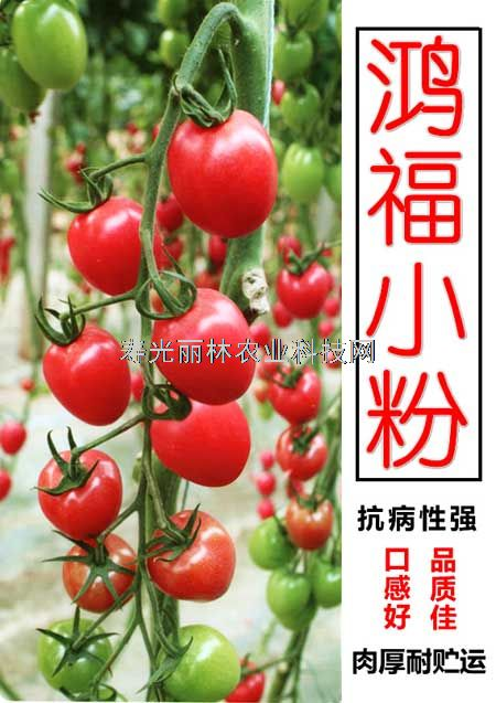 鸿福小粉_口感小番茄种子