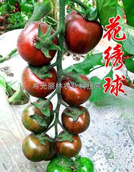 水果番茄种子-花绣球-口感番茄种子