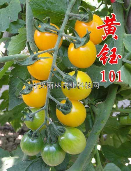 黄色圆球小番茄种子-黄钰101