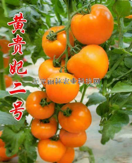 大果黄西红柿种子-黄贵妃2号-抗病毒番茄种子
