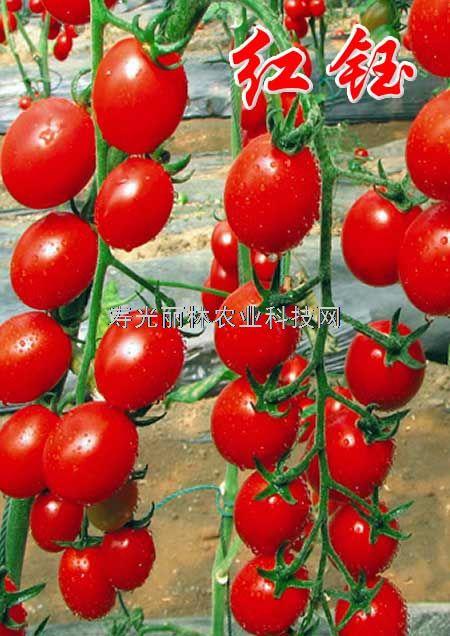 红钰_进口樱桃番茄种子-口感小番茄种子