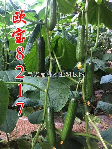 进口水果黄瓜种子-欧宝8217小青瓜种子-荷兰小黄瓜种子