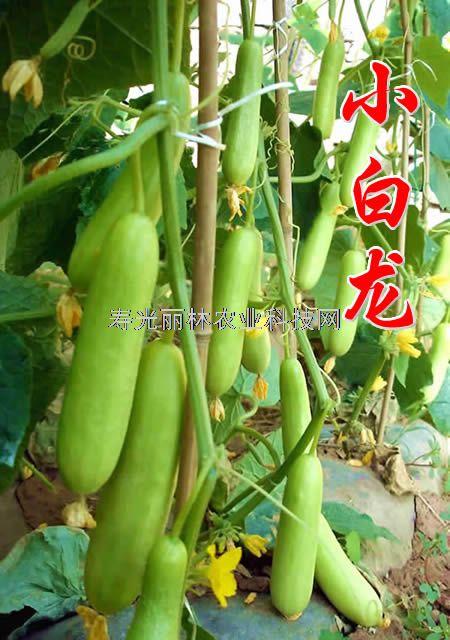 白色小黄瓜种子-白色水果黄瓜种子-小白龙